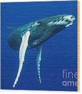 Humpback Whale Calf Wood Print