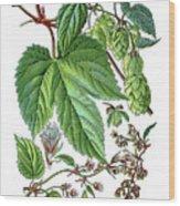 Humulus Lupulus, Common Hop Or Hop Wood Print