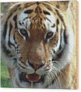 Hungry Tiger Wood Print