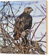 Hunting Red-tailed Hawk Wood Print