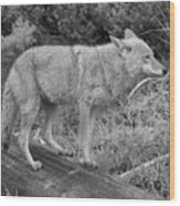 Hunting With Ears Back Black And White Wood Print
