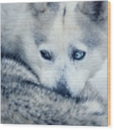 Husky Curled Up Wood Print