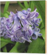 Hyacinth Flowers Wood Print by Richard Mitchell