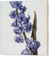 Hyacinth Wood Print by Granger