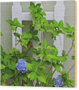 Hydrangea Blooming In October Wood Print