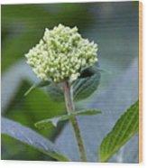 Hydrangea Bud Wood Print