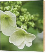 Hydrangea Buds Visit Www.angeliniphoto.com For More Wood Print