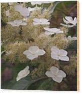 Hydrangea. Cream-white. Wood Print