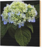 Hydrangea In Bloom Wood Print