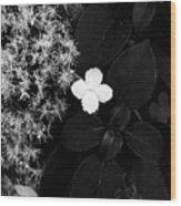 Hydrangea Petiolaris Wood Print