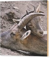 Ibex Mother And Son Wood Print