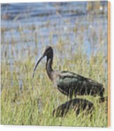 Ibis Looking Around Wood Print