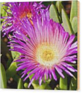 Ice Plant Blossom Wood Print by Kelley King