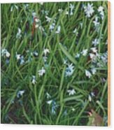 Iceblue Squill Wood Print