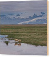 Iceland Sheep Reflections Panorama  Wood Print