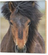 Icelandic Equine Beauty.. Wood Print