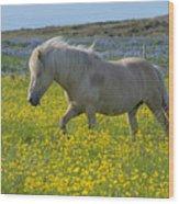 Icelandic Horse, Iceland Wood Print