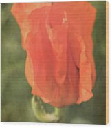 Icelandic Poppy 1124 Wood Print