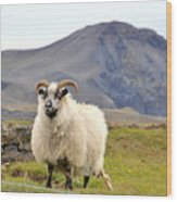 Icelandic Sheep Wood Print
