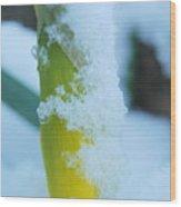 Icy Daffodil Wood Print