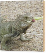 Iguana Eating Lettuce With His Tongue Sticking Out Wood Print