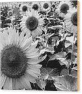 Illinois Sunflowers Wood Print