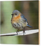 Illusive Female Bluebird Wood Print