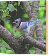 I'm Looking - Blue Jay Wood Print