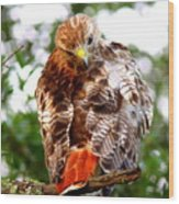 Img_1050-002 - Red-tailed Hawk Wood Print