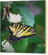 Img_8712-001 - Swallowtail Butterfly Wood Print