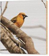 Immature Altamira Oriole - Salineno Preserve - Texas Wood Print