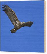 Immature Bald Eagle Fly By Wood Print