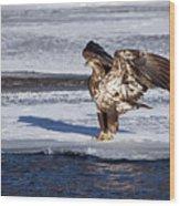 Immature Eagle On Ice Wood Print
