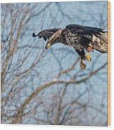 Immature Eagle Wheels Down Wood Print