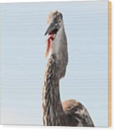 Immature Great Blue Heron Sticks Toungue Out Wood Print