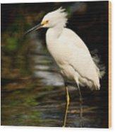 Immature Snowy Egret Wood Print