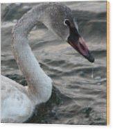 Immature Swan Wood Print