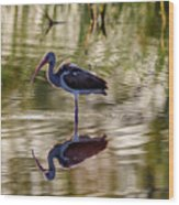 Immature White Ibis At Sunrise Wood Print
