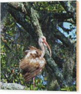 Immature White Ibis Wood Print