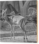 Impala    Black And White Wood Print