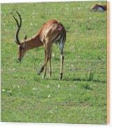 Impala Buck Wood Print