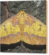 Imperial Moth Wood Print