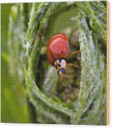 Imposter Ladybug Wood Print