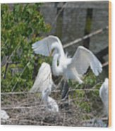 In The Wild White Snowy Egrets Photography ....photo A Wood Print