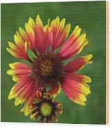 Indian Blanket Flower - Gaillardia Wood Print