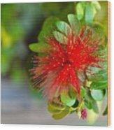 Indian Bottlebrush Flower Wood Print