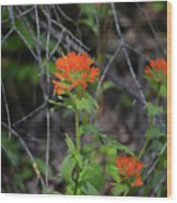 Indian Paint Brush 2 Wood Print