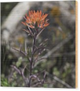 Indian Paintbrush 7 Wood Print