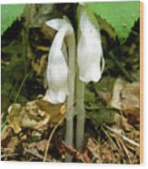 Indian Pipes - Monotropa Uniflora Wood Print