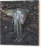 Indian Pipes Wood Print